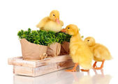 Duckling and bushes isolated on white — Stock Photo