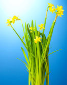 Schöne gelbe narzissen auf blauem hintergrund — Stockfoto