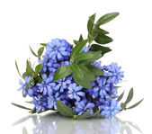 Muscari - hyacinth isolated on white — Stock Photo