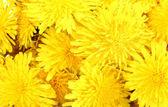 Dandelion flowers close-up — Stock Photo
