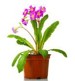 Beautiful purple primrose in a flowerpot isolated on white — Stock Photo