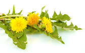 Dandelion flowers and leaves isolated on white — Stock Photo