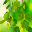 Green birch leaves on green background - Stockfoto