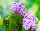 Beautiful lilac flowers on green background — Stock Photo