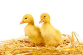 Two duckling on straw isolated on white — Stock Photo