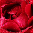 Beautiful red rose closeup — Stock Photo
