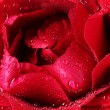 Stock Photo: Beautiful red rose closeup