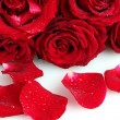 Beautiful red roses and petals isolated on white — Stock Photo