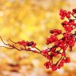 Beautiful branch with red berries on yellow background — Stock Photo