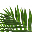 Beautiful palm leaves isolated on white — Stock Photo #8117926