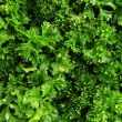 Fresh bunch of parsley closeup - Stock Photo