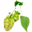 Beautiful green hop isolated on white — Stock Photo