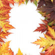 Vivid autumn maple leaves isolated on white - Stock Photo