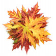 Stockfoto: Vivid autumn maple leaves isolated on white