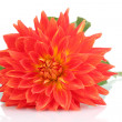 Red dahlia flower isolated on white - Stock Photo