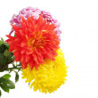 Colorful chrysanthemums isolated on white - Stock Photo
