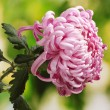 Pink autumn chrysanthemum in the garden — Stock Photo