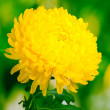 Yellow autumn chrysanthemum in the garden — Stock Photo