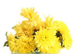Yellow Chrysanthemums flowers isolated on white — Stock Photo