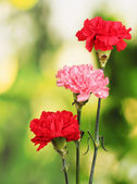 Three carnation on green — Stock Photo