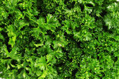 Fresh bunch of parsley closeup — Stock Photo