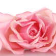 Pink rose isolated on white — Stock Photo #8120659