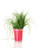 Beautiful green onion in red cup isolated on white — Стоковое фото