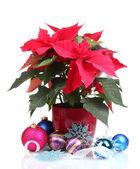 Beautiful poinsettia with christmas balls isolated on white — Stock Photo