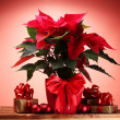 Beautiful poinsettia in flowerpot, and Christmas balls and gifts on wooden — Stock Photo