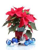 Hermosa flor de pascua con bolas de navidad aislado en blanco — Foto de Stock