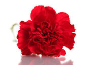 Red carnation isolated on white — Stock Photo
