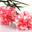Royalty-Free Stock Photo: Beautiful carnations isolated on white