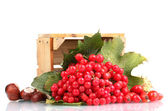 Red berries of viburnum in wooden box, chestnuts and briar isolated on whit — Stock Photo