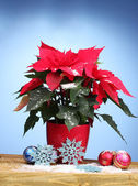 Hermosa flor de pascua con bolas de navidad en mesa de madera sobre fondo azul — Foto de Stock