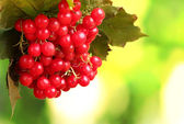 Red berries of viburnum on green background — Stock Photo