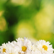 Beautiful bouquet of daisies on green background — Stock Photo #8365530