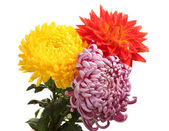Colorful chrysanthemums isolated on white — Stock Photo
