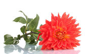 Red dahlia flower isolated on white — Stock Photo