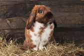 Lop-eared rabbit in a haystack on wooden background — Stock Photo