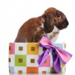 Lop-eared rabbit in a gift box with purple bow isolated on white — Stock Photo #8459170