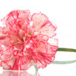 Beautiful carnation isolated on white — Stock Photo #8491315