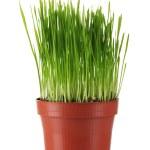 hierba verde en una maceta aislada en blanco — Foto de Stock