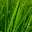 Stock Photo: Green grass closeup