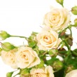 Small roses isolated on white - Foto Stock