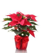 Beautiful poinsettia in flowerpot isolated on white — Stock Photo