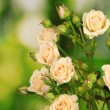 Beautiful small roses on green background — Stock Photo