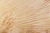 Oyster mushrooms closeup — Stock Photo