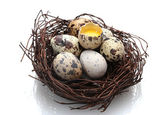 Quail eggs in nest isolated on white — Stock Photo