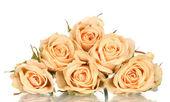 Many roses on white background — Stock Photo