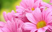Beautiful pink chrysanthemum on green background — Stock Photo